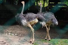 Ostrich  (Lim SK) Tags: