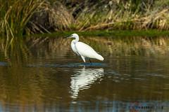 Little Egret 1DX12179.jpg (alanmcbride1) Tags: bird birds littleegret france aude languedoc gruissan