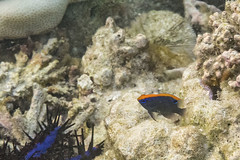 Indische Demoiselle (astroaxel) Tags: malediven diamonds athuruga resort unterwasser schnorcheln indische demoiselle