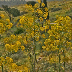 Paint Me Nature (Nira Dabush) Tags: flowers plant nature floral field yellow photography israel artist photographer fineart    gilboa       ferulacommunis   niradabush