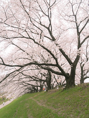 Infinite Sakura Corridor (maida0922) Tags: tree river cherry spring kyoto branches blossoms 京都 dike slope yawata kizu 八幡 em5 sewaritei 背割堤 mzuiko12mmf20