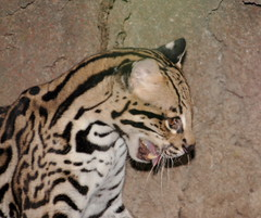 Ocelot Fang (Jay Costello) Tags: ny newyork cat mammal zoo buffalo rainforest feline spots mating ocelot