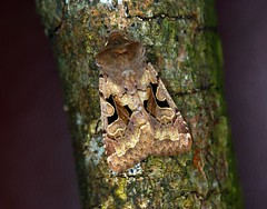 Hebrew Character 03/04/13 (troubleatmill) Tags: lane moths gregson