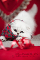 Les Persans de Fannie (Les Persans De Fannie) Tags: christmas cats pets cat persian chats kitten chat noel chinchilla foulard animaux fannie chaton chatons persan ecossais