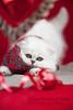 Les Persans de Fannie (Les Persans De Fannie) Tags: christmas cats pets cat persian chats kitten chat noel chinchilla foulard animaux fannie chaton chatons persan ecossais