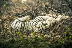 Abandoned cuddly toy - decay (jalbusac) Tags: naturaleza abandoned nature toy decay tiger cachorro cuddly tigre abandonado d7000