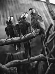 3 Macaws' (A Jacona) Tags: bw film 1997 mamiya645 105210mm frontiersp3000