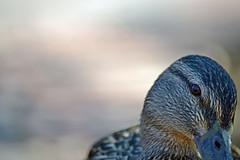 Bashful Duck (MTSOfan) Tags: duck shy mallard bashful browneye