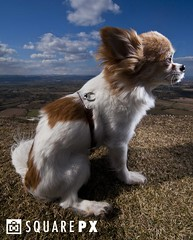 Stay... (squarepx) Tags: sky dog chihuahua clouds hill sit stay obedient