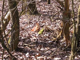 Eichhörnchen, NGID741197419