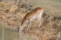 Lechwe at the YWP (Steve Barowik) Tags: animals zoo meerkat nikon tiger lion conservation leopard giraffe fullframe fx wwf amur doncaster 80400mm d600 africanplains nikond600 nikon80400mmf4556dafvr yorkshirewildlifepark barowik stevebarowik sbofls26