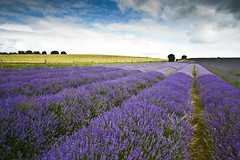 Lavender Field (gracust) Tags: summer sky floral clouds purple lavender mauve hitchin ickleford lavenderfield