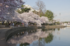 Cherry Blossoms Wed 10 Apr 2013  (168)  Washington DC (smata2) Tags: this you good national cover photograph be pick geographic titlephotosharingimg a i are height48 hrefhttpwwwflickrcomgroups83374492n00 srchttpstaticflickrcom1042978201971b62ce7b44ojpg width129 altnominateda hrefhttpwwwflickrcomgroups83374492n00national enougha