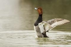 Redhead Duck--Male (Robin Arnold) Tags: male bird nature water animal duck wings pond wildlife waterfowl aythyaamericana avian redheadduck