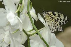 _DSC5701 (Fabio Bertini) Tags: butterflyhouse farfalle casadellefarfalle macrophotographymacro me2youphotographylevel1