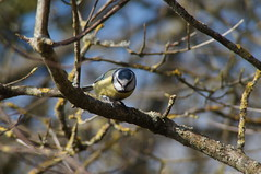 Blue Tit, Cosmeston Lakes