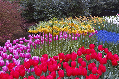Rainbow of Flowers (San Francisco Gal) Tags: pink blue red white flower holland nature yellow garden landscape spring purple blossom daffodil tulip shrub muscari keukenhof lisse frittilaria rememberthatmomentlevel1 rememberthatmomentlevel2