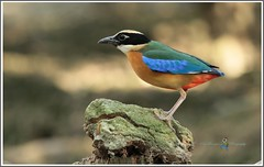 IMG_4863 Blue-winged Pitta @ PRP (Ericbronson's Photography) Tags: bird nature interesting singapore wildlife pitta prp bluewinged ericbronson photographyforrecreation vigilantphotographersunite vpu2 vpu3