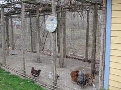 Fresh Eggs (mlcastle) Tags: bird chickens chicken birds meetup eggs milton offsite buttermilk fresheggs buttermilkfalls miltonny muphq muphqpto