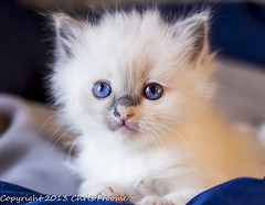 More Ragdoll kittens (froomey) Tags: cats pets cute animal fur mammal spring blueeyes kittens felines domesticanimals ragdolls youngsters americanragdoll householdanimals olympusmzuiko45mm olympusomdem5