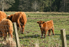 a wee coo ! (mag2003...) Tags: castle scotland cattle angus highland wee longhorn calves glamis