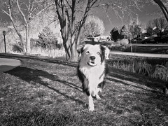 4/12 Waiting for Spring (Anda74) Tags: bw april bordercollie ouzo stalking iphone 12monthsfordogs iphone4s 12monthsfordogs2013