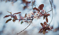 Cherry blossom (Lena Khachina) Tags: pink flowers blue flower tree cherry spring blossom cherryblossom helios cherryflower helios402