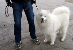 Samoyed and Indigo (J R Webb) Tags: cemetery samoyed canine