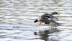 Mallard Takeoff (gherringer) Tags: canada bird vancouver spring bc britishcolumbia stanleypark mallard anasplatyrhynchos