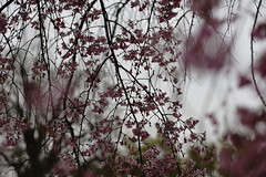 (ddsnet) Tags: travel plant flower japan night sony 99   cherryblossom  sakura nippon  kansai  nihon hanami  slt backpackers   flower            cherry  blossom osakafu  japan  sakashi   flowerinjapan singlelenstranslucent 99v