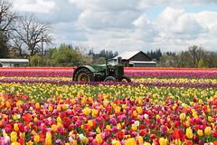Wooden Shoe Tulip Farm (Julia TortoiseHugger) Tags: tractor green colors beautiful oregon garden colorful tulips johndeere woodenshoetulipfarm woodburnor challengegamewinner friendlychallenges woodenshoetulipfarmfestival