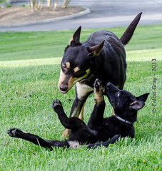 Limit & Aikon Park 04-23-2013-6 (falon_167) Tags: dog puppy shepherd australian german limit gsd germanshepherddog kelpie australiankelpie aikon