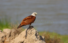 Brahminy Kite (zahoor-salmi) Tags: camera pakistan macro nature birds animals canon lens photo tv google flickr natural action wildlife watch bbc punjab wwf salmi walpapers chanals discovry beutty bhalwal zahoorsalmi panoramafotografico thewonderfulworldofbirds blinkagain
