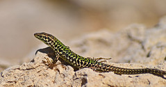 Green Lizard. Explore April 2013 (Cycling Saint) Tags: malta lizards explored nikond600nikkor70300f456