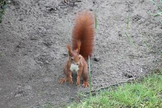 Eichhörnchen, NGIDn119051925