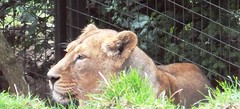 Sheeeeba, the lioness. x (chloe dingwall <3) Tags: edinburgh bigcat lions wildanimal scottland edinburghzoo