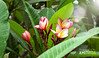 Chafa (Plumeria) (Amit Pise (अमित पिसे)) Tags: flower plumeria champa chafa guccha