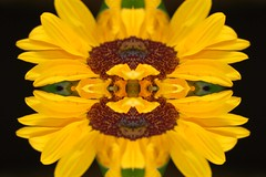 a sunflower_edited-1 (joshcalebwray) Tags: green yellow petals stamens sunflower