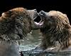 You've Got Bad Breath (floralgal) Tags: animals kissing bears breath badbreath grizzlybears brownbears freshbreath bearskissing bearsplaying twobrownbears bearsandbadbreath youvegotbadbreath grizzlybearsplayinginwater