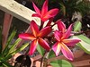 Plumerias are pretty happy (Key Life Pie) Tags: pink flowers flower garden plumeria frangipani floridakeys thebeautifulfloridakeys frangipaniplumeria pinkalicious livinginparadise uploaded:by=flickrmobile flickriosapp:filter=nofilter keylifepiesummer