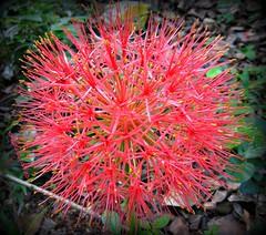 Fireball lily (I Nair) Tags: fireballlily footballlily mayflower scadoxusmultiflorus perennial amaryllidaceae flower nature