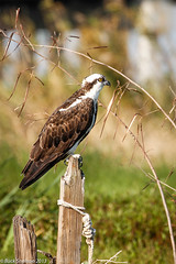 Osprey on post (Buck Snelson) Tags: wildlife aves fl osprey pandionhaliaetus sanford ospreys stjohnsriver seminolecounty pandionidae