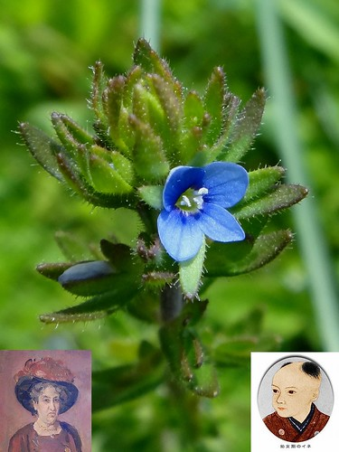 Well Women. Veronica arvensis, Field Speedwell, タチイヌノフグリ, Aletta Jacobs and Ine Kusamoto, Narutaki, Nagasaki, Japan