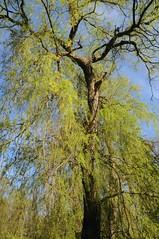 Trauerweide (Salix x pend