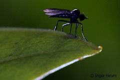 Fly (Ingar H) Tags: fly flue