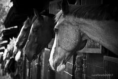 Cavalli #2 (Malacapa) Tags: horses palermo cavalli