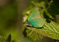 green hairstreak (roly2008.) Tags: canon butterfly insect wildlife dorset 100400mm hairstreak powerstock greenhairstreak