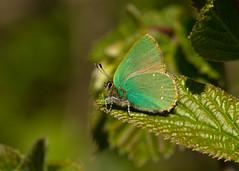 green hairstreak (roly2008.) Tags: canon butterfly insect wildlife dorset 100400mm hairstreak powerstock greenhairstreak