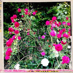 "Roses and peonies in the garden. It all happens at once! • <a style=""font-size:0.8em;"" href=""https://www.flickr.com/photos/61640076@N04/8757202171/"" target=""_blank"">View on Flickr</a>"