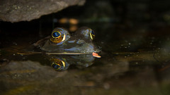 spring bullfrog (jeff schultz photography) Tags: iris reflection nature water rock lens spring still pond eyes waiting quiet surface calm frog patient meditating meditation pupil alert contemplation bullfrog ranacatesbeiana americanbullfrog threeeyes threeeyed lithobatescatesbeianus